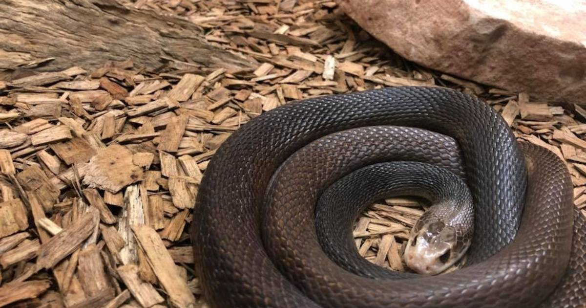 Alice Springs Reptile Centre provides summer time reminder